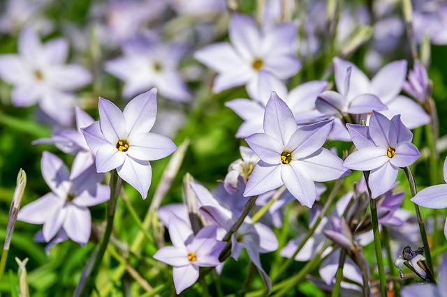 Starflower, Flowers, Blue, Purple, Ipheion Uniflorum