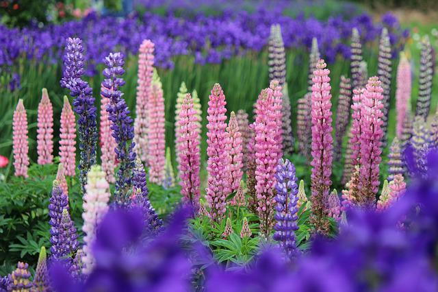Lupine, Fukushima Prefecture, Date City, Purple
