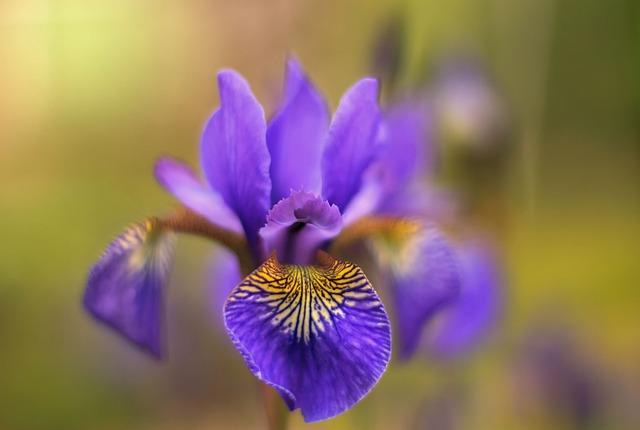 Nature, Flowers, Purple, Plant, Lily, Garden