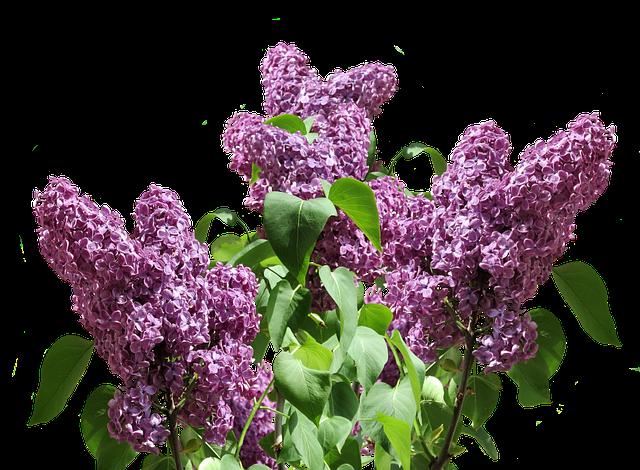 Lilac, Spring, Nature, Purple, Garden, Plant, Branch