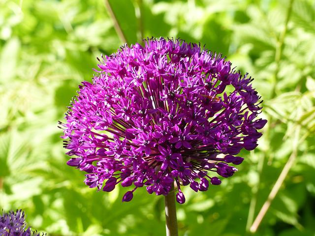 Allium, Purple, Garden, Summer, Green