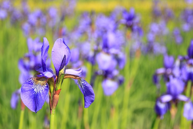 Flower, Iris, Wild Flower, Purple, Flowers, Meadow