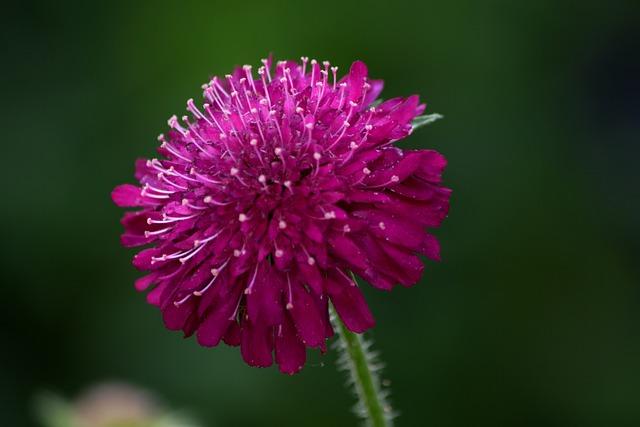 Knautia Macedonica, Beemdkroon, Purple, Flower
