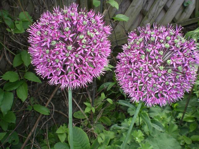 Jewelry Lady, Leek, Alium, Onion Plant, Purple, Garden