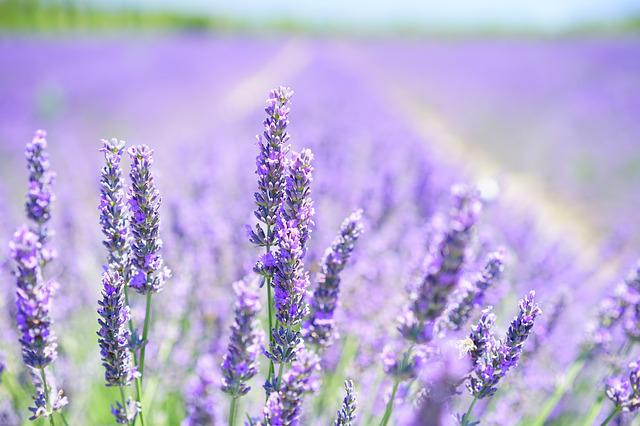Lavender Blossom, Purple, Violet, Light Purple
