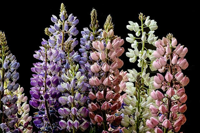 Lupine, Flower, Summer, Nature, Purple, Wild, Blossom