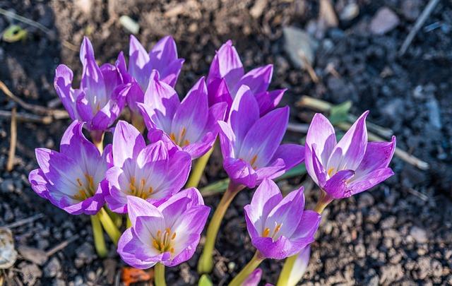 Flowers, Purple, Columbines, Outdoors, Nature, Bloom