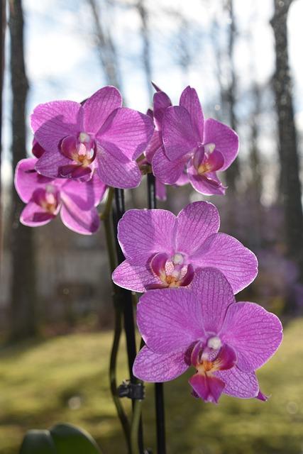 Flower, Plant, Nature, Orchid, Phalaenopsis, Purple