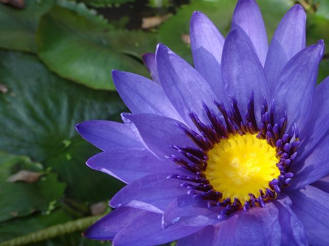 Purple Nymphaea Alba, Nymphaea Alba, Purple