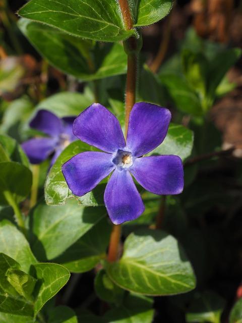 Periwinkle, Flower, Blossom, Bloom, Purple, Violet