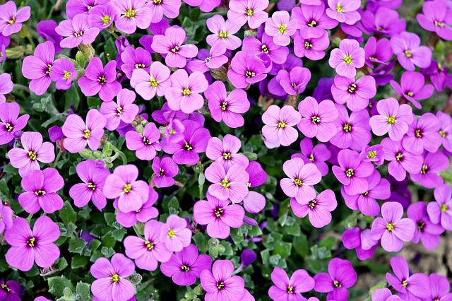 Blue Pillow, Garden Plant, Purple, Pink, Cross Flowers