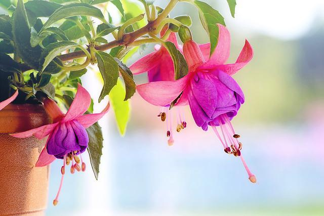 Fuchsia Wind Chime Flowers, Macro, Pink, Purple, Spring