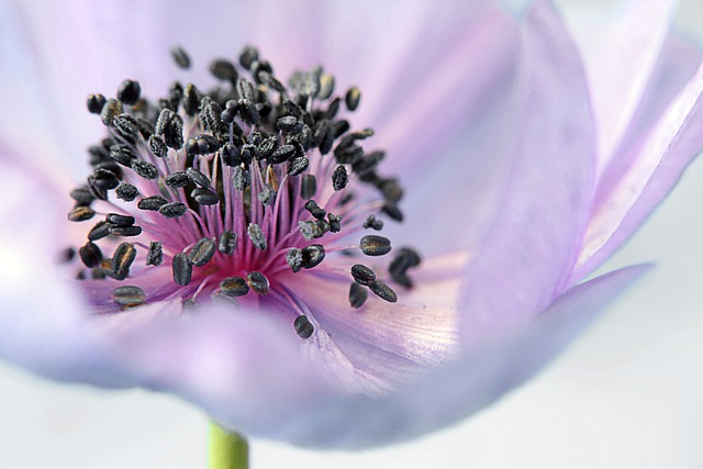 Anemone, Flower, Blossom, Bloom, Purple, Meadow, Plant