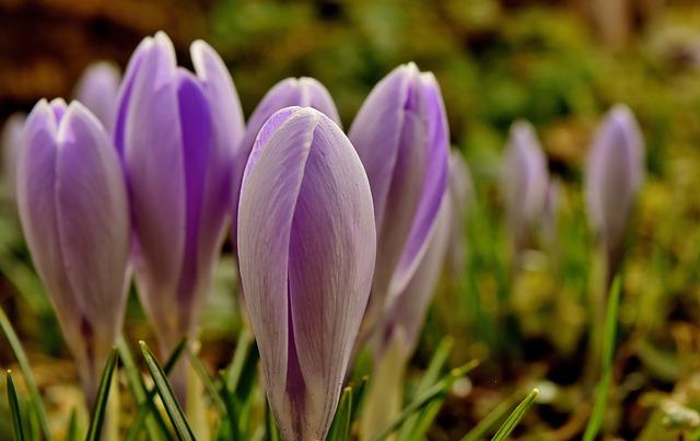Crocus, Flower, Spring, Plant, Purple