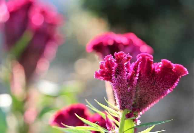 Cockcomb, Celosia Argentea, Flower, Purple, Plant