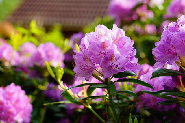 Rhododendron, Flowers, Purple, Bush, Violet, Close