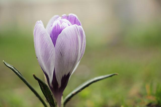 Crocus, Flower, Spring, Spring Flower, Purple