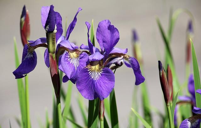 Iris, Flower, Garden, Purple, Flora, Plant, Spring