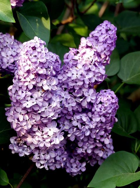Lilac, Purple, Spring, Bush, Lilac Tree, Lilac Branch