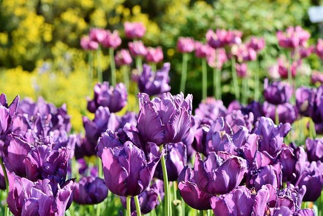 Tulips, Tulip Field, Tulpenbluete, Purple Tulips