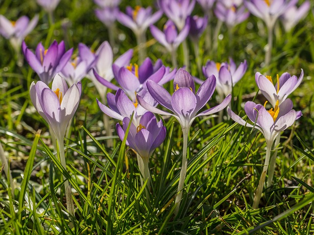 Crocus, Violet, Purple, Flowers, Spring, Early Bloomer