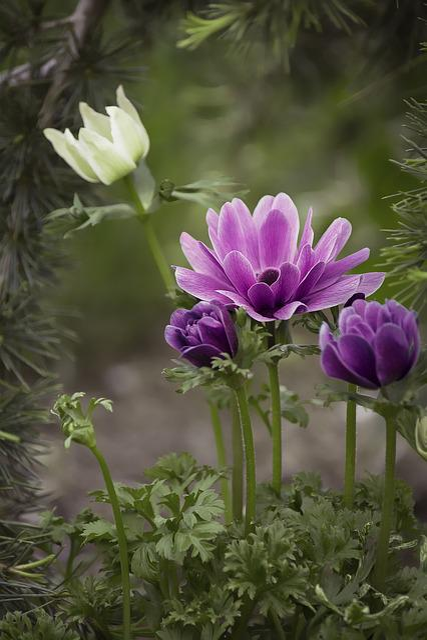 Anemone, Violet, Purple, Purple Anemone, Flower