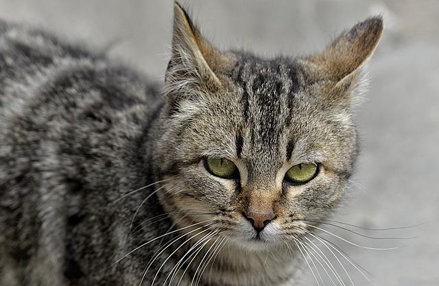Cat, Feline, Animal, Pet, Feline Look, Pussycat