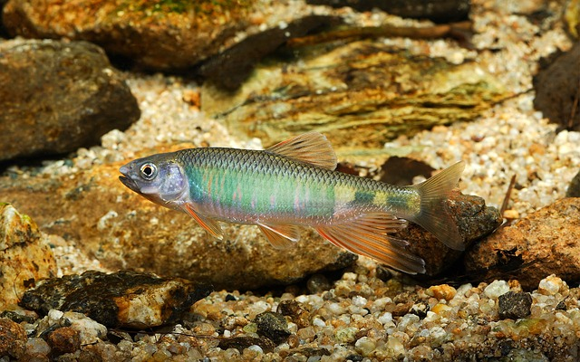 Pyramid, Freshwater Fish, Fishes