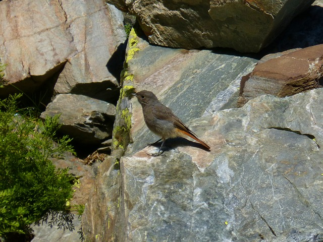 Black Redstart, Smoked, Bird, Rocks, Pyrenee Catalunya