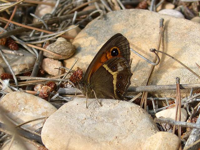 Pyronia Bathseba, Butterfly, Lobito List