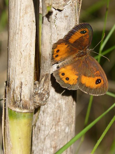 Butterfly, Lobito List, Orange, Pyronia Bathseba