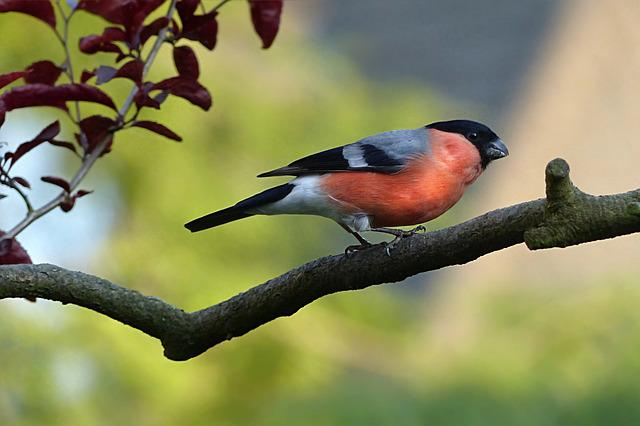 Animal, Bird, Bullfinch, Pyrrhula, Male, Hunger