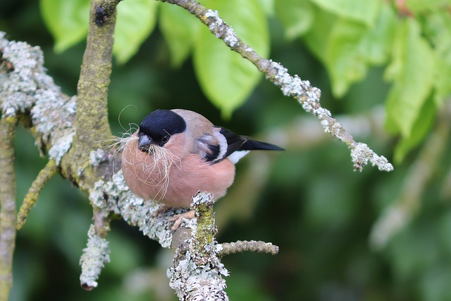 Bullfinch, Gimpel, Pyrrhula Pyrrhula, Female