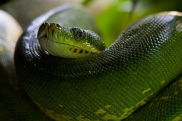 Green Tree Python, Snake, Python, Morelia Viridis