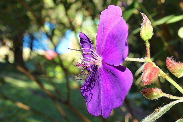 Quaresmeira, Quaresmeira Purple, Tibouchina Granulosa