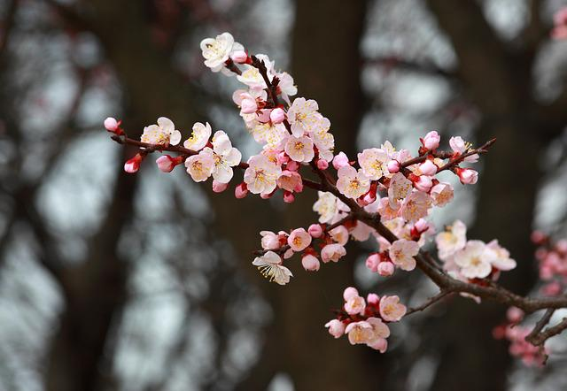 Quarter, Wood, Flowers, Nature, Plum, Apricot, Spring