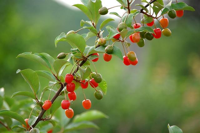 Nature, Fruit, Wood, Leaf, Quarter, Bodhi, Spring, Red