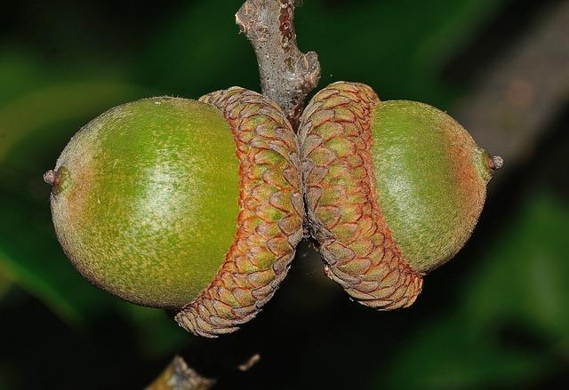 Nature, Quercus, Oak, Fruit, Green