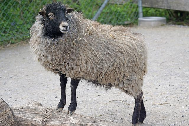 http://maxpixel.freegreatpicture.com/static/photo/640/Quessantschaf-Small-Dwarf-Sheep-Breton-Sheep-1382152.jpg