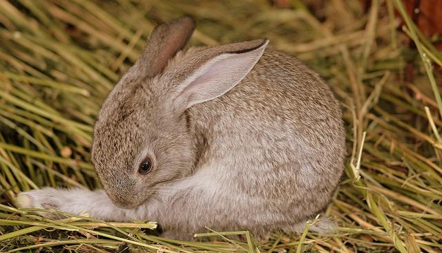 Rabbit, Gray, Cute, Small