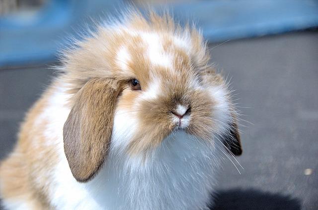 Flemish Lop Rabbit, Rabbit, Very Affectionate