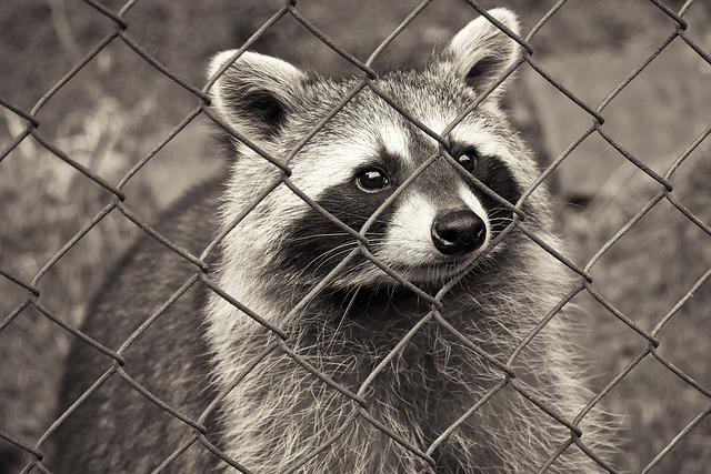 Raccoon, Animal, Nature, Fur, Furry, Animal World, Bear