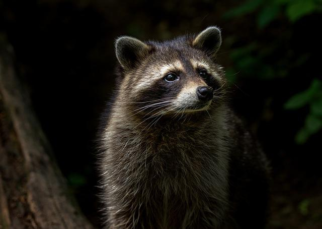 Raccoon, Animal, Nature, Mammal, Furry, Animal World