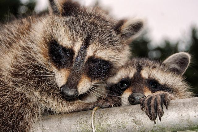 Raccoons, Cute, Curious, Cheeky, Animals, Mammals