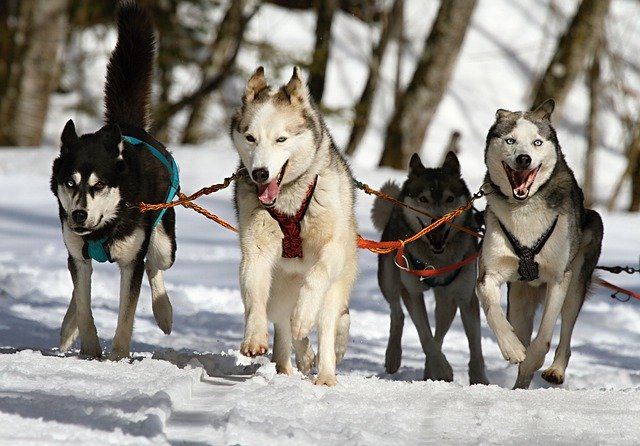Huskies, Husky, Blue Eye, Dog, Snow, Race, Sled Dog