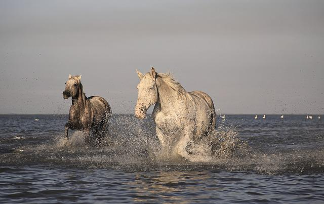 Horse, Camargue, White, Horses, Animals, Race, Nature