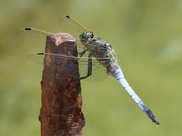 Dragonfly, Blue Dragonfly, Raft, Orthetrum Cancellatum