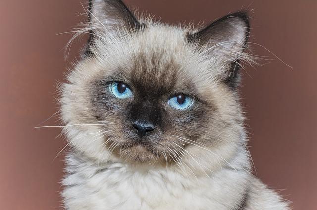 Cat, Kitten, Pets, Tom-cat, Animal, Rag Doll