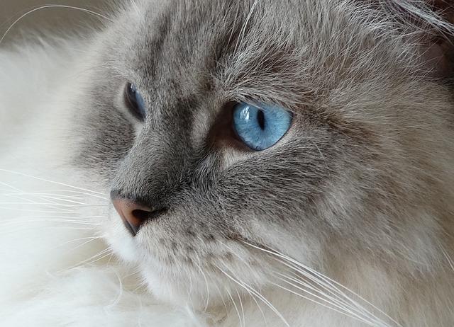 Cat, Remote Access, Ragdoll, Blue, Eyes, Face