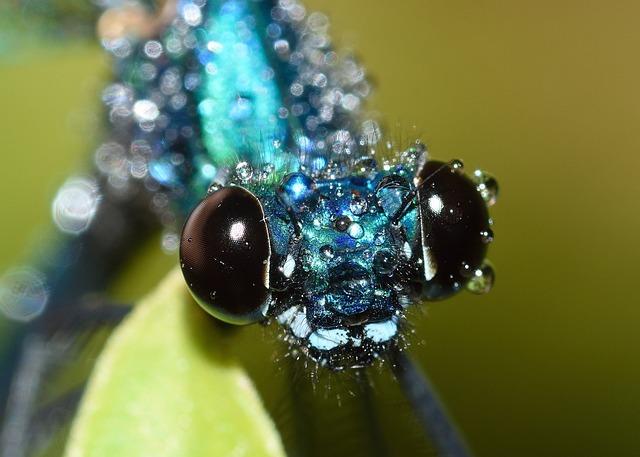 Dragonflies, Maid, Calopteryx, Splendens, Rain, Macro